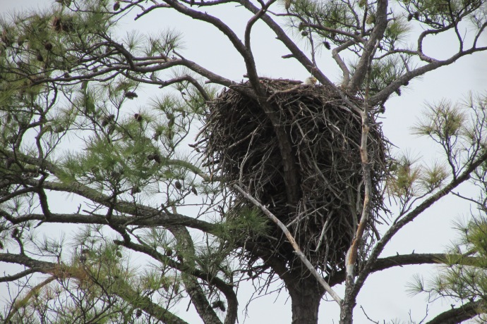 Eagle in the nest